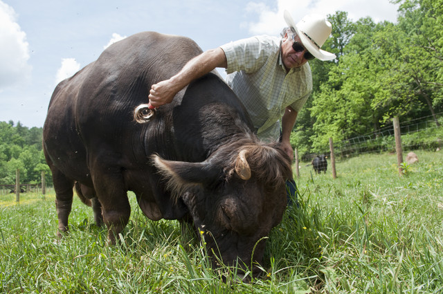 Steve Whitmire brushing a beef cow on the Brasstown Beef Farm