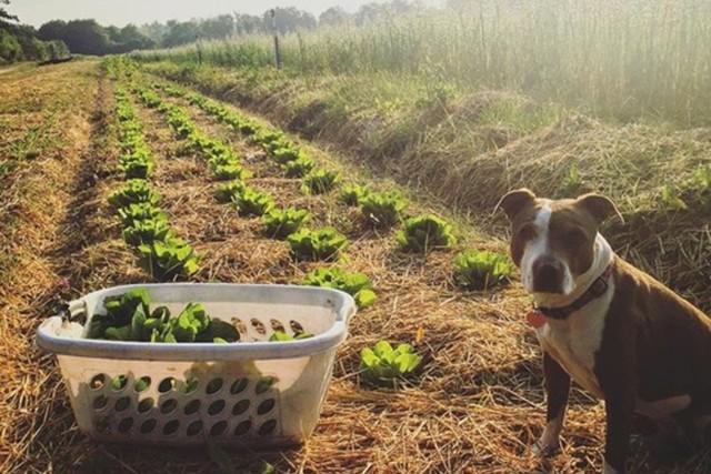 Dog next to laundry basket of harvested lettuce on farm